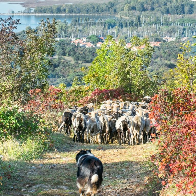Pastori fattoria Antonič pecore ovini landa carsica san giovanni timavo