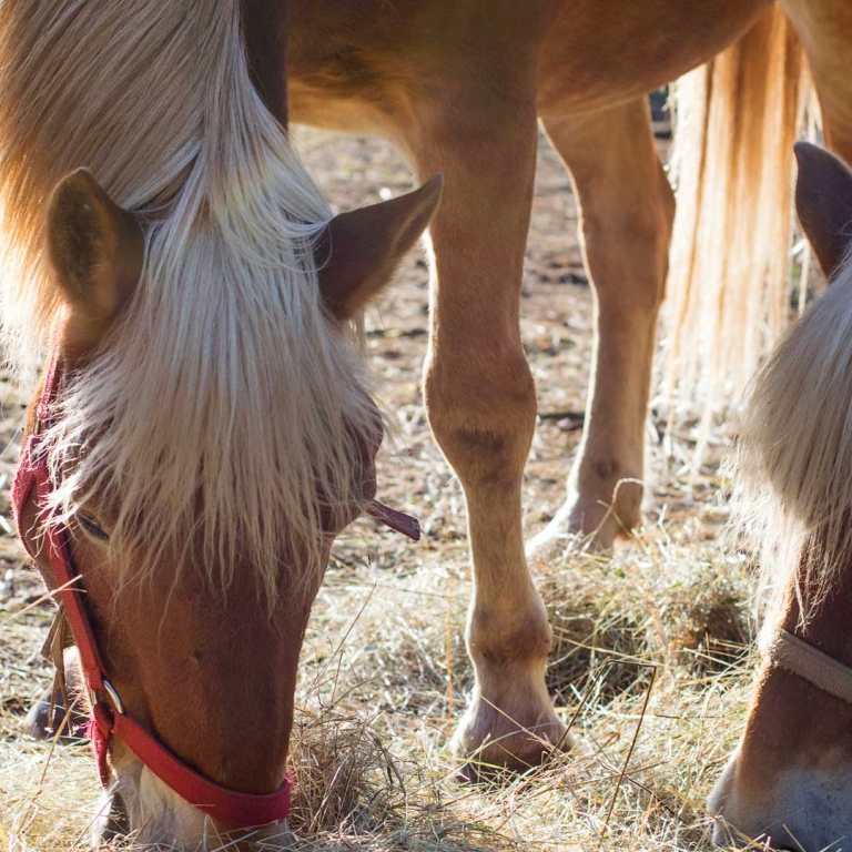 Fattoria Antonič cavalli carso ceroglie malchina sistiana
