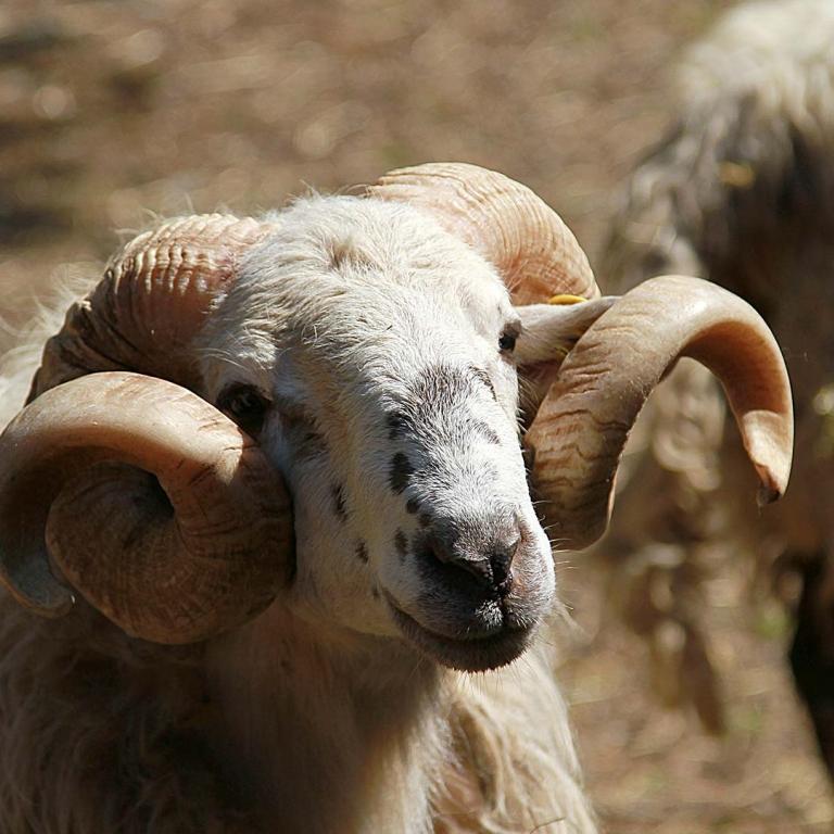 Fattoria antonic didattica animali montone ovini pecore Ceroglie