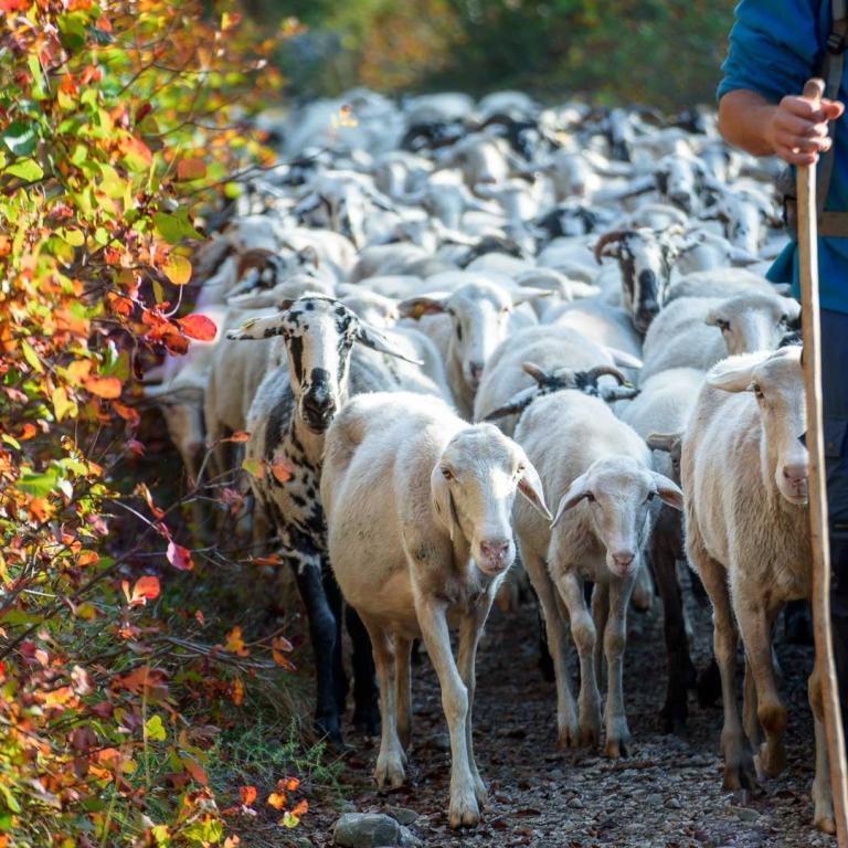 Fattoria Antonič pascolo pastore pecore ovini carso trieste