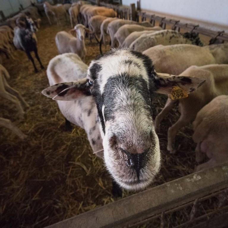 Pecora Istro Carsolina  Carso Fattoria antonic didattica animali Ceroglie