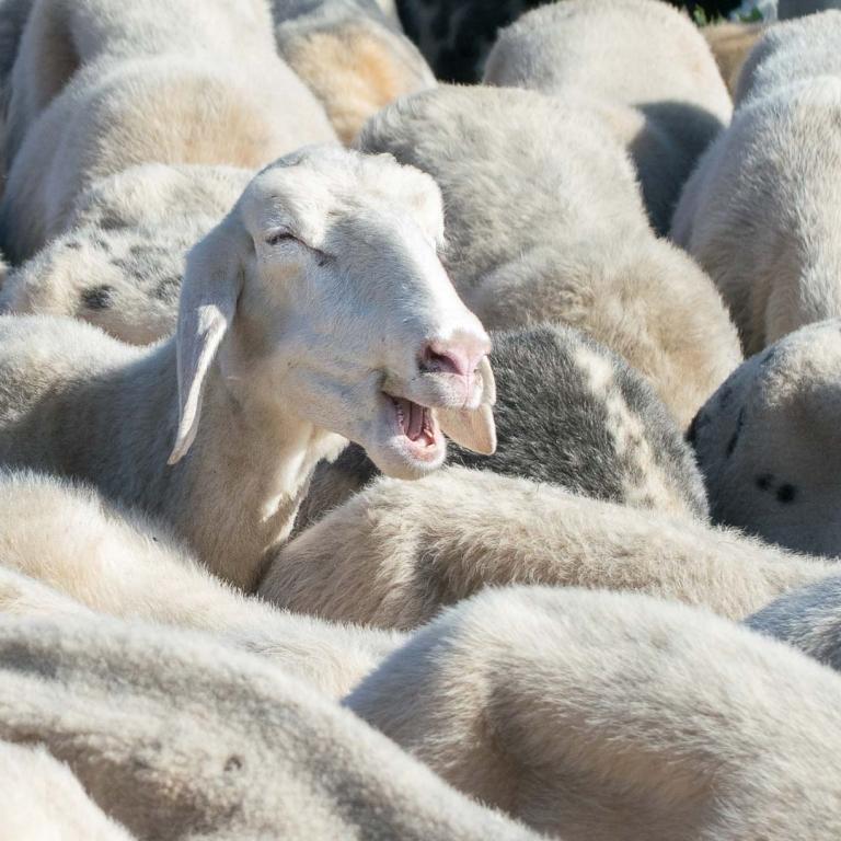 Pecora sarda pecore Carso Fattoria antonic didattica animali Ceroglie