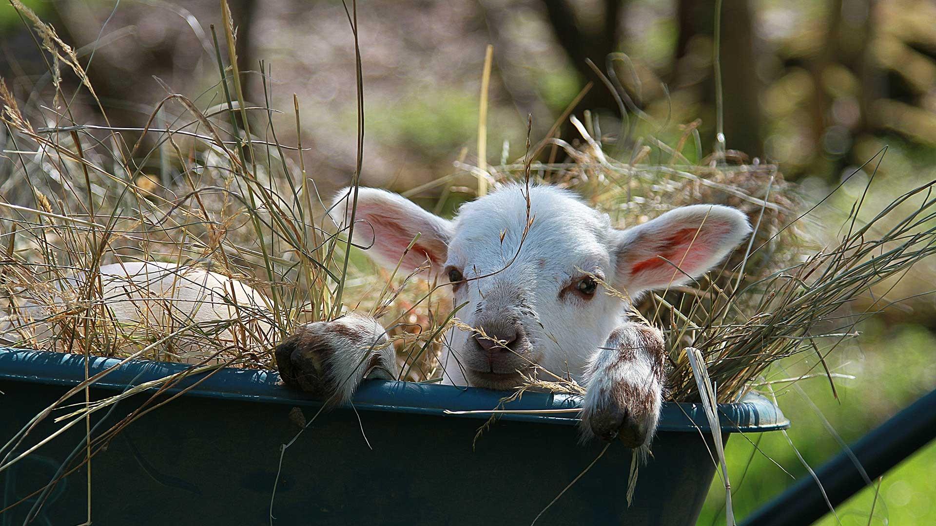 adottiamo agnellino pecora ceroglie ripopolamento trieste antonic