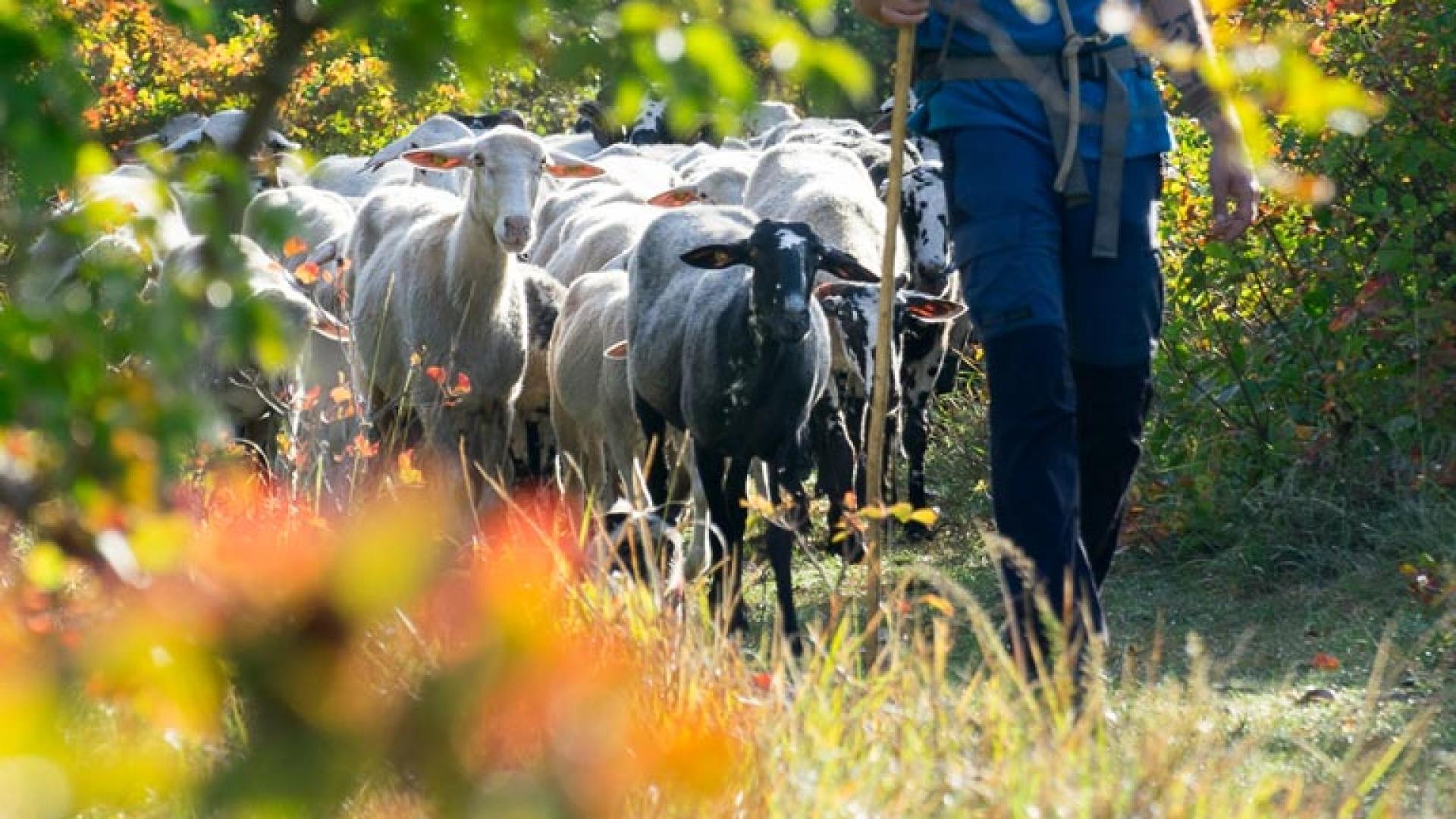pomeriggio da pastore attività antonic carso bosco natura pecore